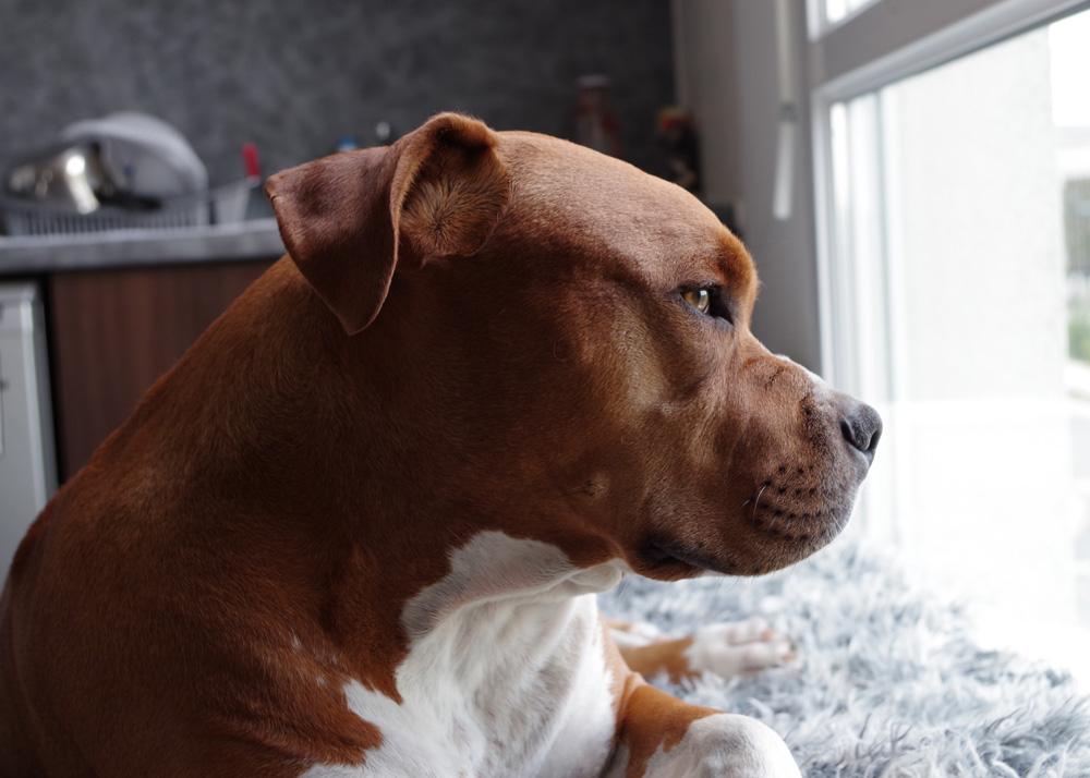 separation-anxiety-cbd-oil-dogs-petoji